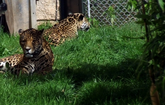 Jaguars basking - Chester Zoo