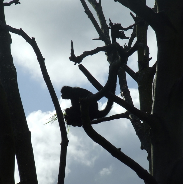 A monkey - Chester Zoo