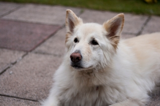 A white German Shepherd