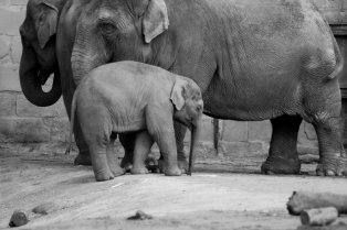 Elephant and calf - Chester Zoo