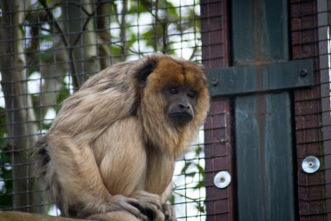 Howler Monkey - Chester Zoo