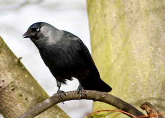 Jackdaw - Beaumaris Castle