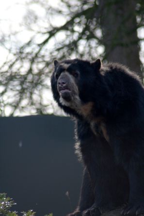 Spectacled Bear - Chester Zoo