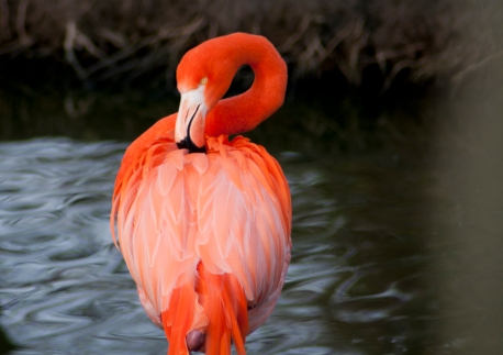 Flamingo - Chester Zoo