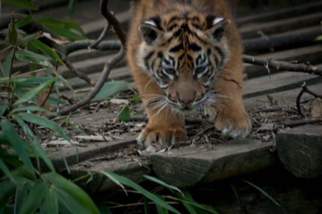 Tiger cub - Chester Zoo
