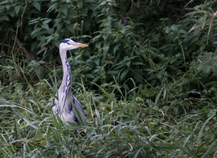 Young Heron - Attenborough Nature Reserve