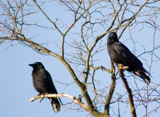 Pair of Crows - Nottingham