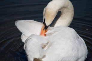 Mute Swan, Attenborough Nature Reserve