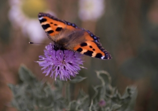 Small Tortoiseshell Butterly - Near Middlesborough