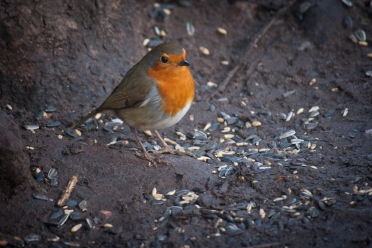 Robin, Wollaton Hall, Nottingham
